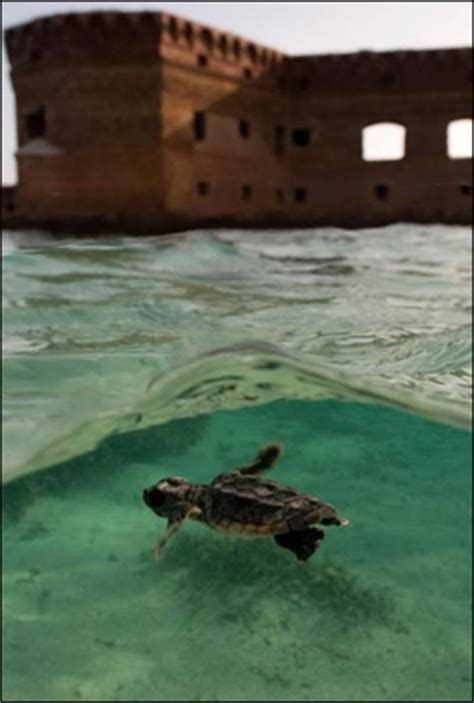 Sea Turtles - Dry Tortugas National Park (U