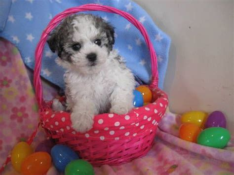 Bichon / Maltese Male Pups Ready for Easter