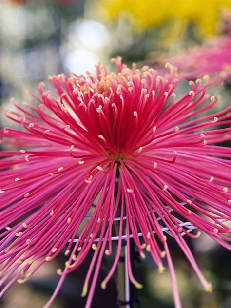 Celebrate bonfire night with firework-inspired flowers